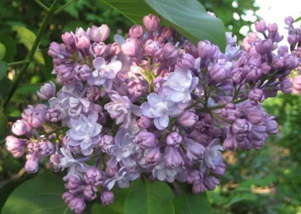 Сиреневый цвет в природе